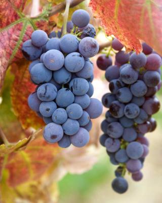 Grapes - Obrázkek zdarma pro Nokia Asha 305