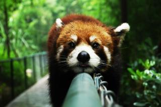 Cute Red Panda - Obrázkek zdarma pro Fullscreen Desktop 1600x1200