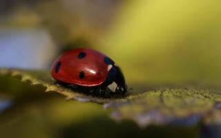 Ladybug Macro Background for Android, iPhone and iPad