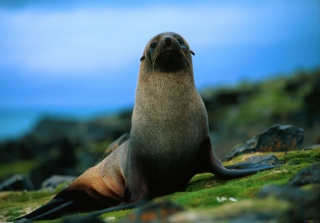 The Antarctic Fur Seal Background for Android, iPhone and iPad