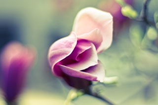 Pink Bloom Background for Android, iPhone and iPad