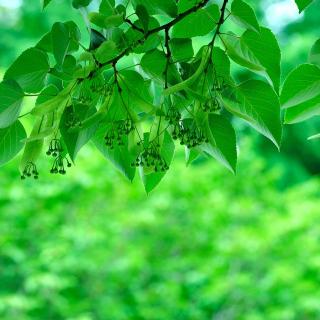 Green Aspen leaves - Obrázkek zdarma pro iPad mini 2