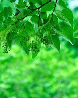 Green Aspen leaves - Obrázkek zdarma pro 768x1280