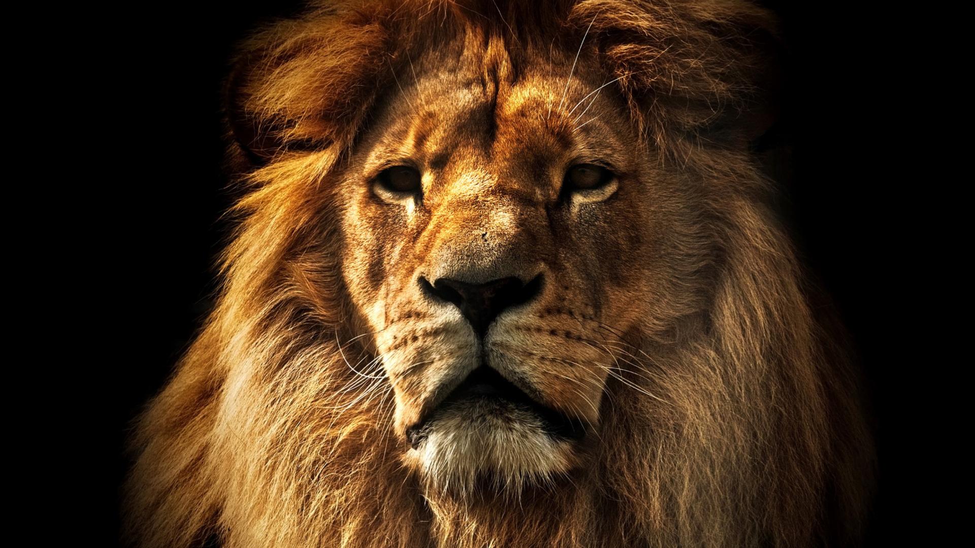 Breitling Logo Wallpaper >> Lion Wallpaper for 1920x1080