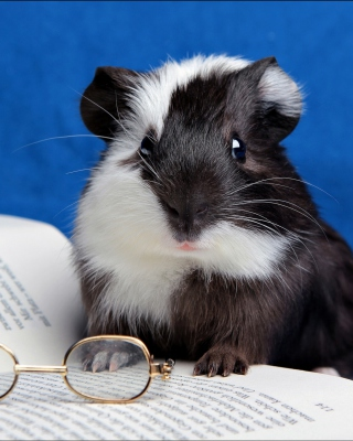 Guinea pig reads - Obrázkek zdarma pro Nokia C-5 5MP