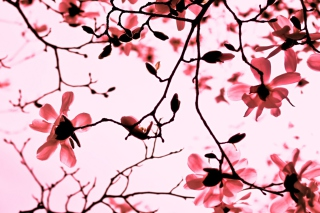 Magnolia Twigs Background for Android, iPhone and iPad