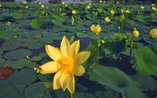 Water Lilies Picture for Android, iPhone and iPad