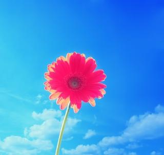 Pink Gerbera - Obrázkek zdarma pro 2048x2048