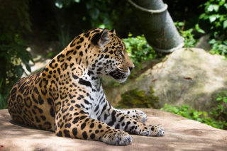 Jaguar Wild Cat Wallpaper for Android, iPhone and iPad