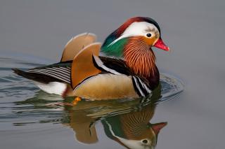 Mandarin Duck - Obrázkek zdarma pro 1024x600