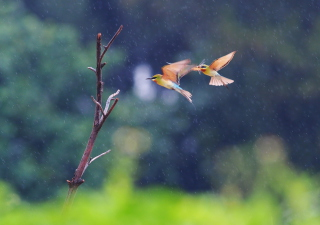 Free European Bee-eater Picture for Android, iPhone and iPad