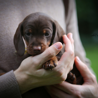 Dachshund Puppy - Obrázkek zdarma pro 128x128