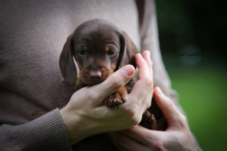 Free Dachshund Puppy Picture for Android, iPhone and iPad