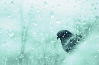 Pigeon In Rain Drops Picture for Android, iPhone and iPad