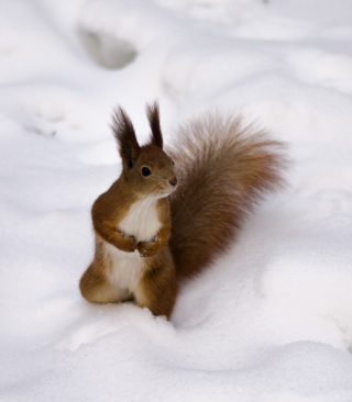 Funny Squirrel On Snow - Obrázkek zdarma pro Nokia Asha 202