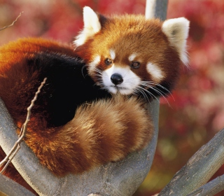 Red Panda Firefox - Obrázkek zdarma pro 1024x1024