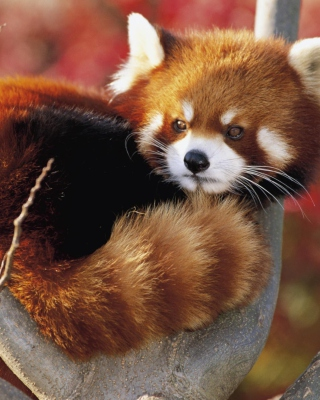 Red Panda Firefox - Obrázkek zdarma pro 480x640