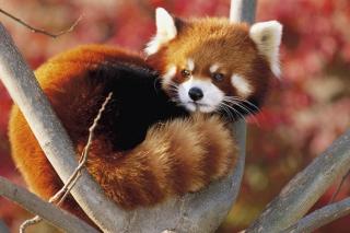 Red Panda Firefox - Obrázkek zdarma pro Samsung Galaxy Tab 3 8.0