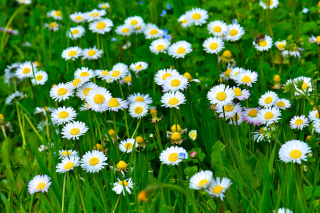 Daisies Meadow Picture for Android, iPhone and iPad