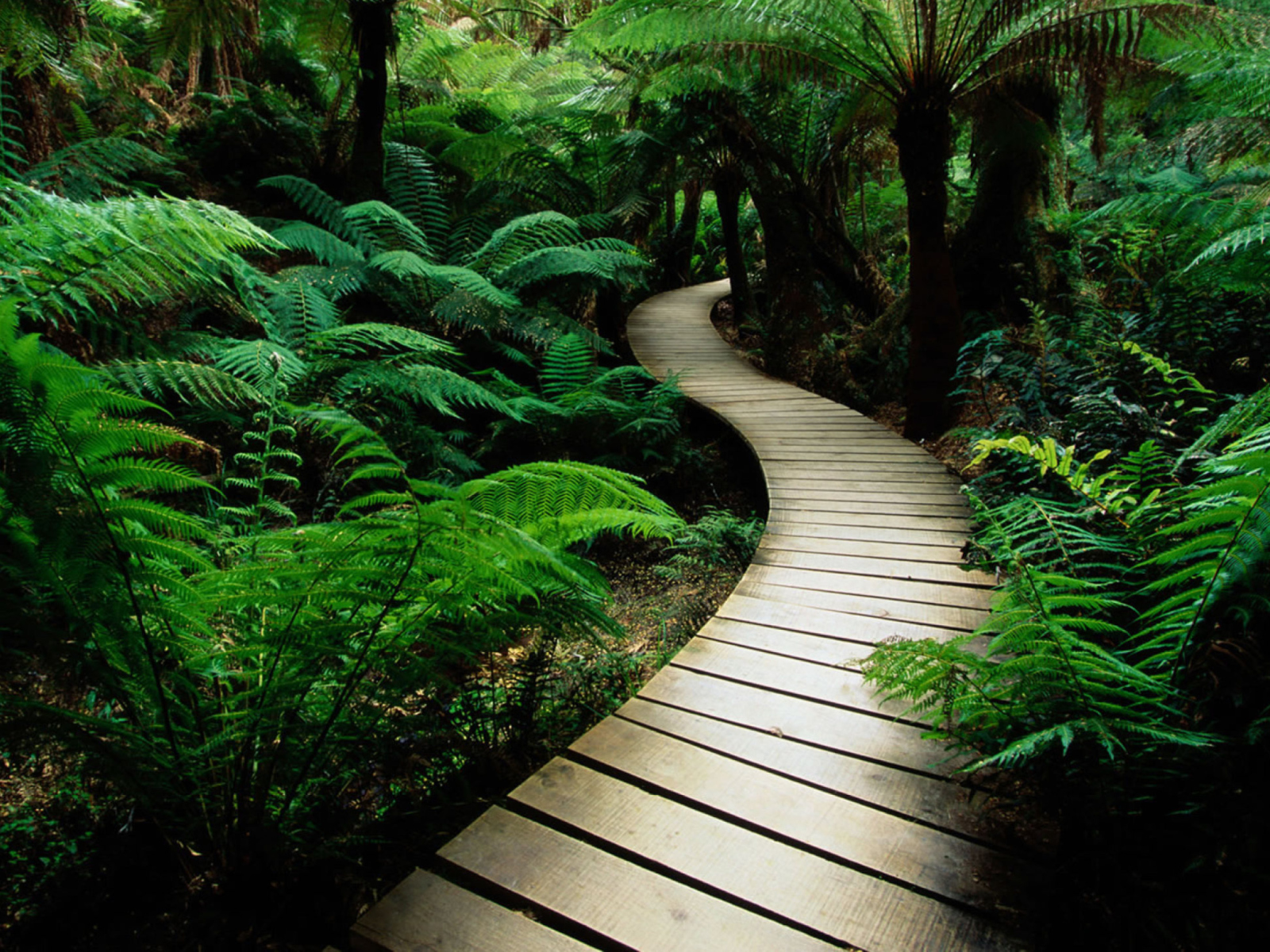 Wooden footpath in dense jungle