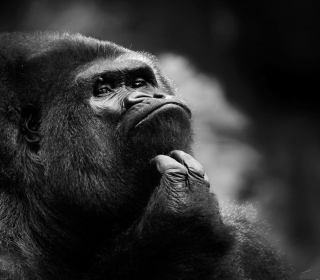 Thoughtful Gorilla - Obrázkek zdarma pro 208x208