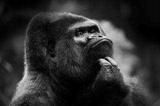Thoughtful Gorilla - Obrázkek zdarma pro Samsung Galaxy Q