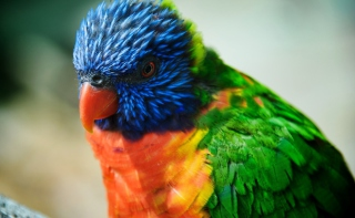 Colorful Parrot Wallpaper for Android, iPhone and iPad