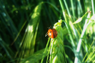 Ladybug On A Plant Wallpaper for Android, iPhone and iPad