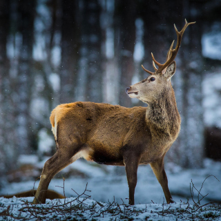 Deer in Siberia - Obrázkek zdarma pro 128x128