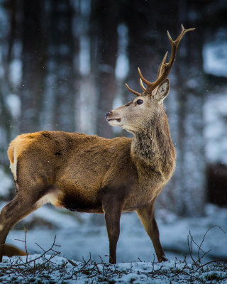 Deer in Siberia - Obrázkek zdarma pro 360x640