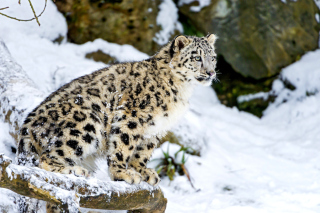Free Snow Leopard Picture for Android, iPhone and iPad