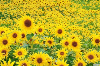 Sunflowers Picture for Desktop 1920x1080 Full HD