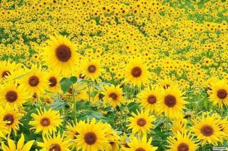 Sunflowers Wallpaper for Desktop 1920x1080 Full HD