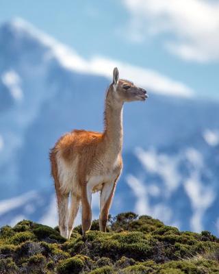Lama in Peru - Obrázkek zdarma pro Nokia 206 Asha