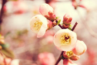 Tender Spring Blossom Picture for Android, iPhone and iPad