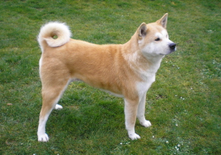 Akita Inu Dog Background for Android, iPhone and iPad