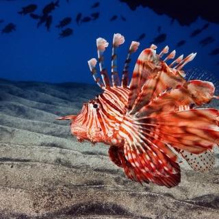 Pterois, Lionfish - Obrázkek zdarma pro 1024x1024