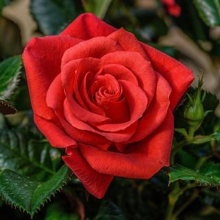Lonely Red Rose - Obrázkek zdarma pro iPad mini
