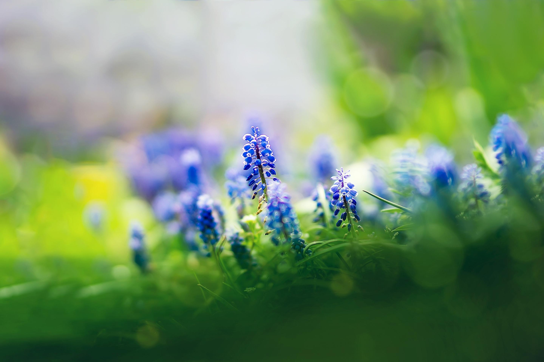 природа цветы голубые  № 1334458  скачать