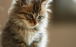 Furry Kitten Background for Android, iPhone and iPad