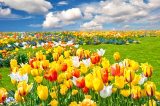 Colorful tulips sfondi gratuiti per cellulari Android, iPhone, iPad e desktop