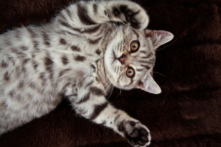 British Shorthair Picture for Android, iPhone and iPad