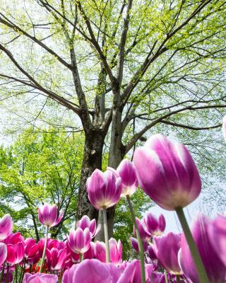 Bokeh Tulips Field - Obrázkek zdarma pro Nokia Asha 306