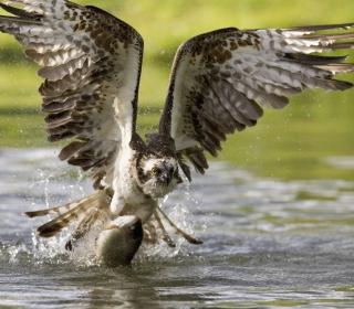 Sea Hawk - Obrázkek zdarma pro 1024x1024