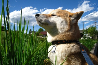 Shiba Inu Background for Android, iPhone and iPad