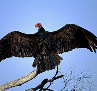 Turkey Vulture On Tree - Obrázkek zdarma pro iPad