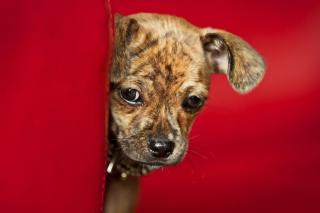 Puppy sfondi gratuiti per cellulari Android, iPhone, iPad e desktop