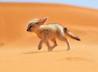 Desert Wolf - Obrázkek zdarma pro Nokia C3