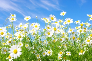 Free Daisies Field Picture for Android, iPhone and iPad