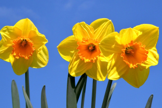 Yellow Daffodils Picture for Android, iPhone and iPad
